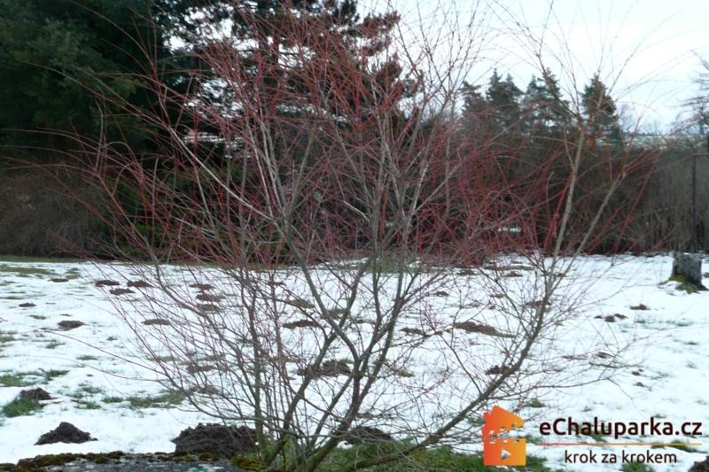 Japonska vrba v zime